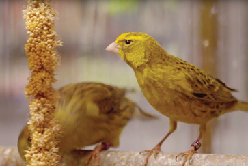 Canary care guides