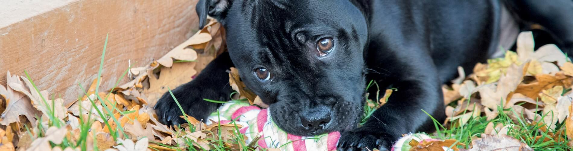 Adopting and settling in your puppy