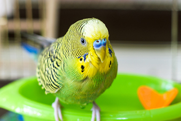 Budgie care guide