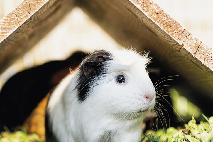 Winter care guide: Do rabbits and guinea pigs get cold?