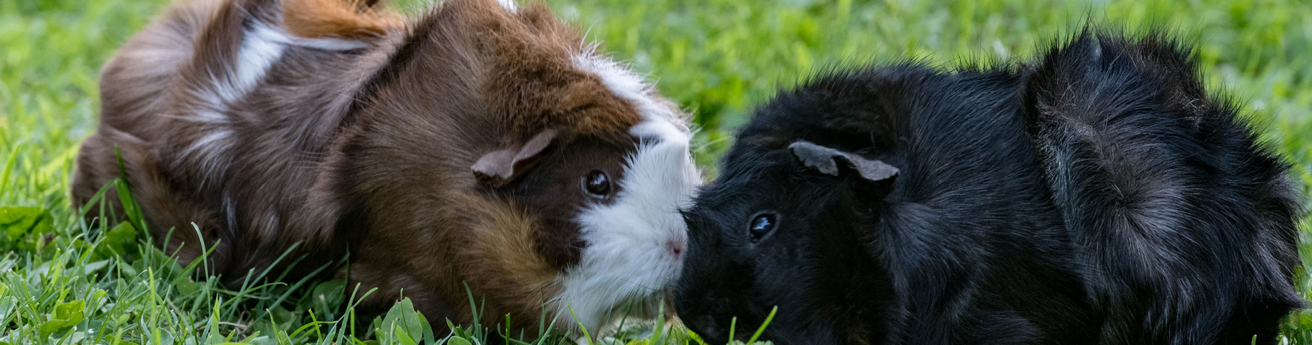 Guinea pig care guide