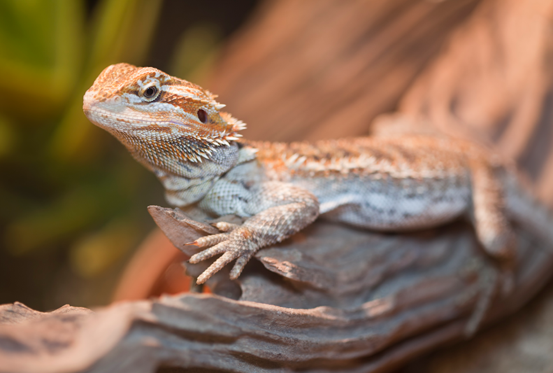 How to set up your Bearded Dragon's home