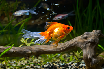 Helping your fish cope with the Summer heat