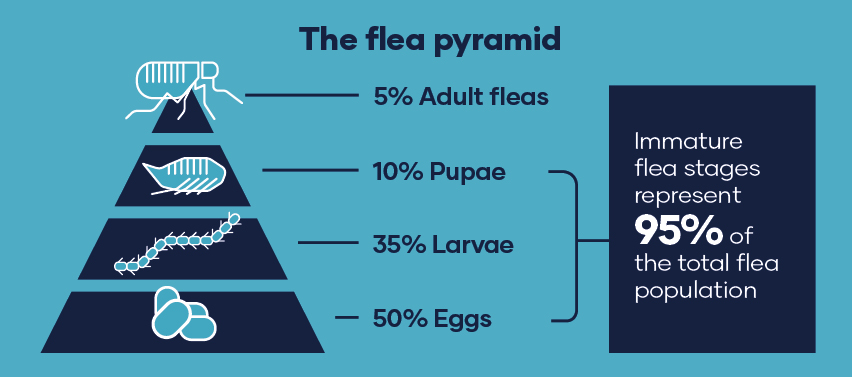 The flea pyramid 5% adult fleas, 10% Pupae, 35% Larvae, 50% eggs