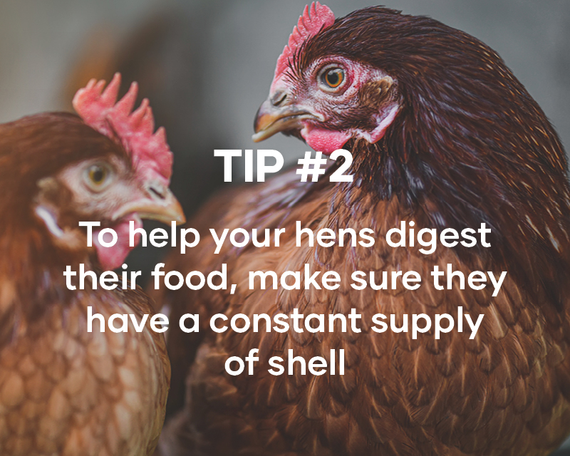 To help your hens digest  their food, make sure they have a constant supply  of shell