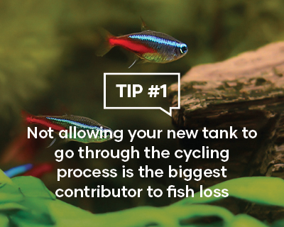 Not allowing your new tank to go through the cycling process is the biggest contributor to fish loss