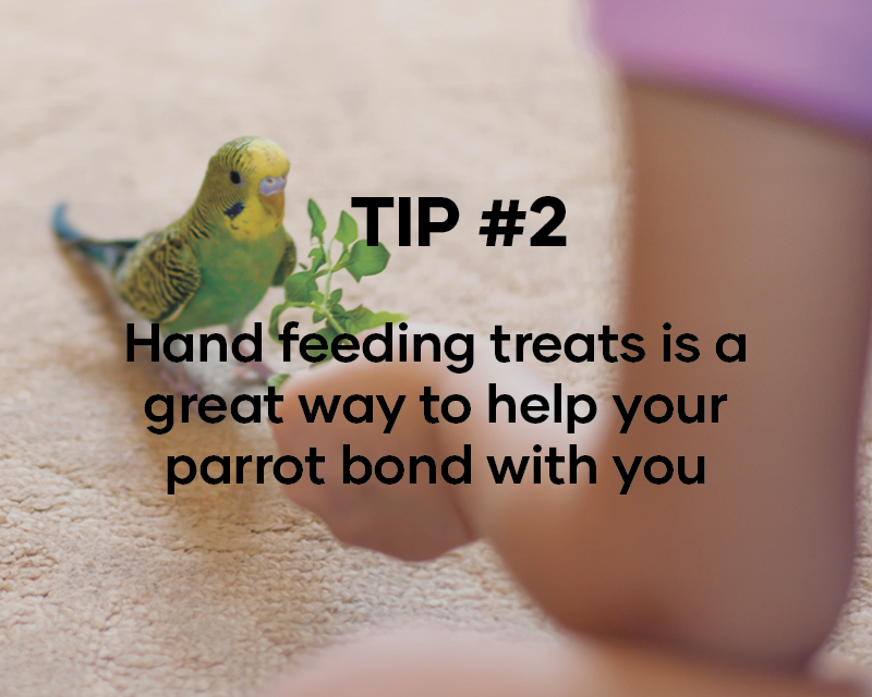 Hand feeding treats is a great way to help your parrot bond with you
