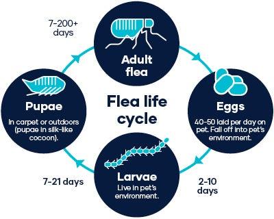 Flea life cycle Eggs to Adult Flea Adult flea